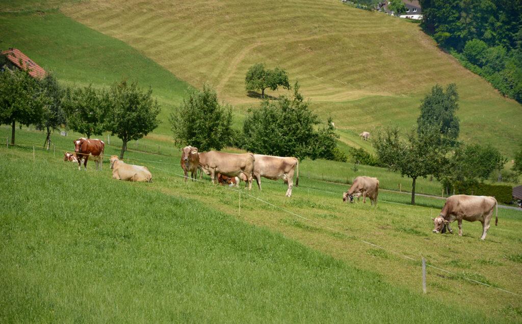 15 Kühe auf der Weide